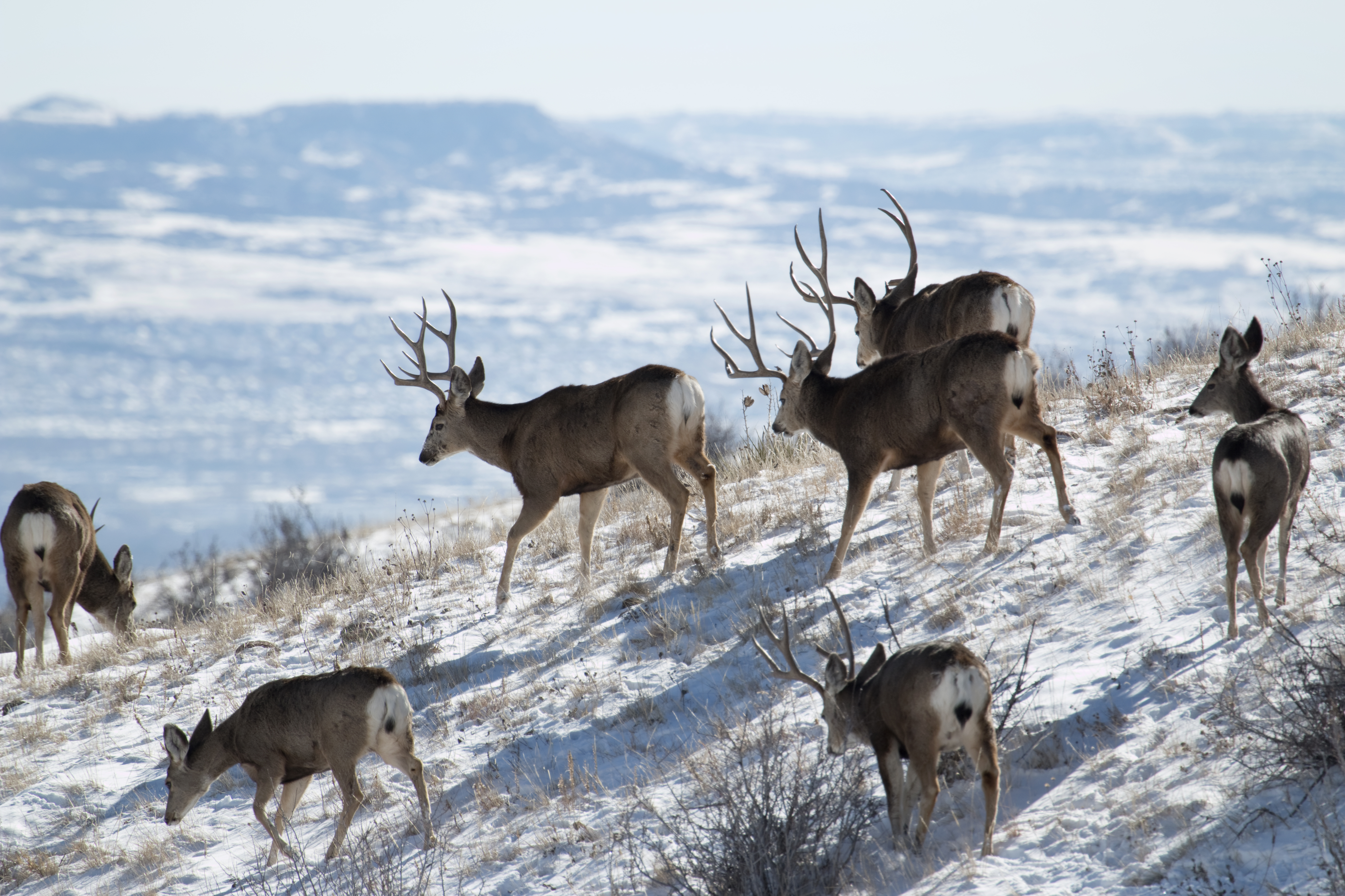 Mule deer herd on Green Mountain, Colorado