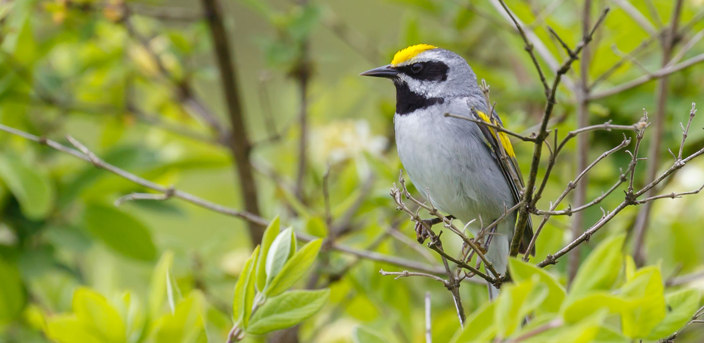 Golden-winged warbler in a tree