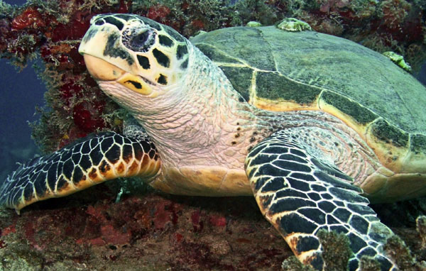 Northwest Atlantic loggerhead