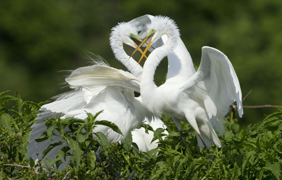 Great egrets on Rookery Island,  Credit: Minden Pictures
