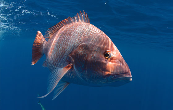 ​​Red snapper, Credit: Jason Arnold