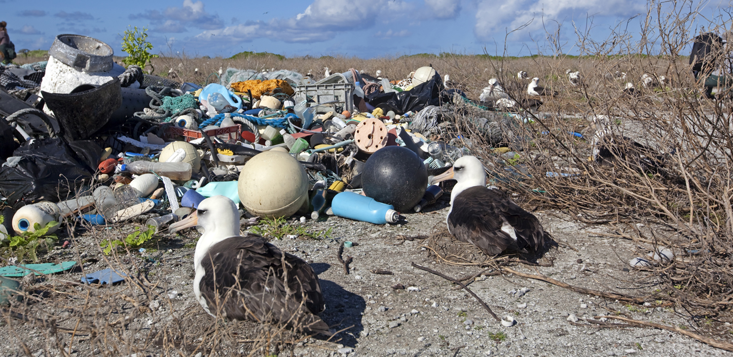 albatross on their nests on a beach with piles of marine trash