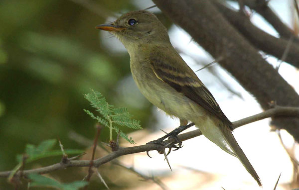 Southwest willow flycatcher
