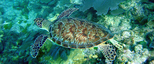 Sea Turtles are Threatened or Endangered Species
