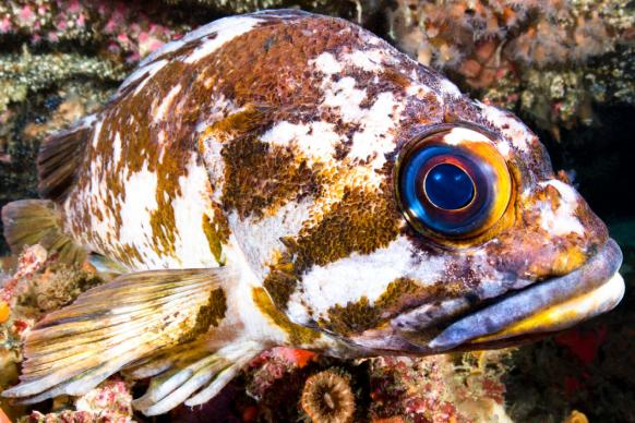 Copper rockfish in California