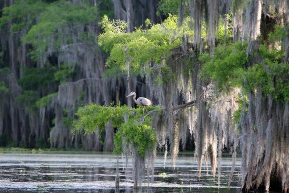 Blue heron in a cypress swamp in Louisiana