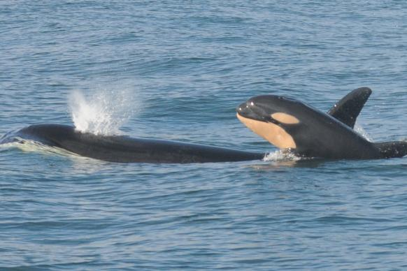 Southern resident killer whale and calf swimming