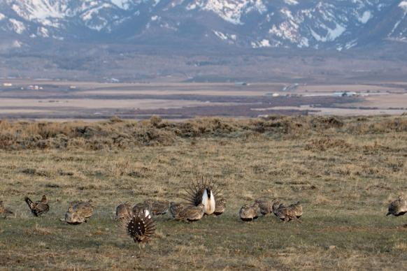 Sage-grouse on plain in Colorado