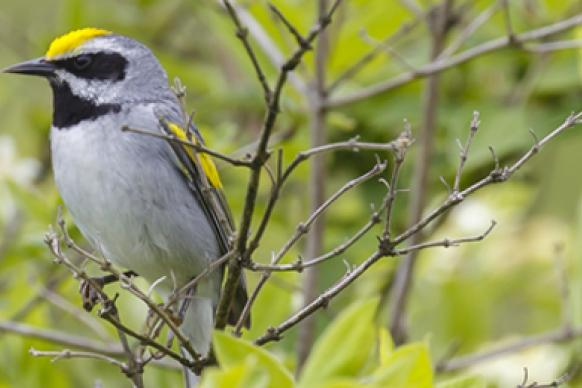 warbler-golden-winged.jpg