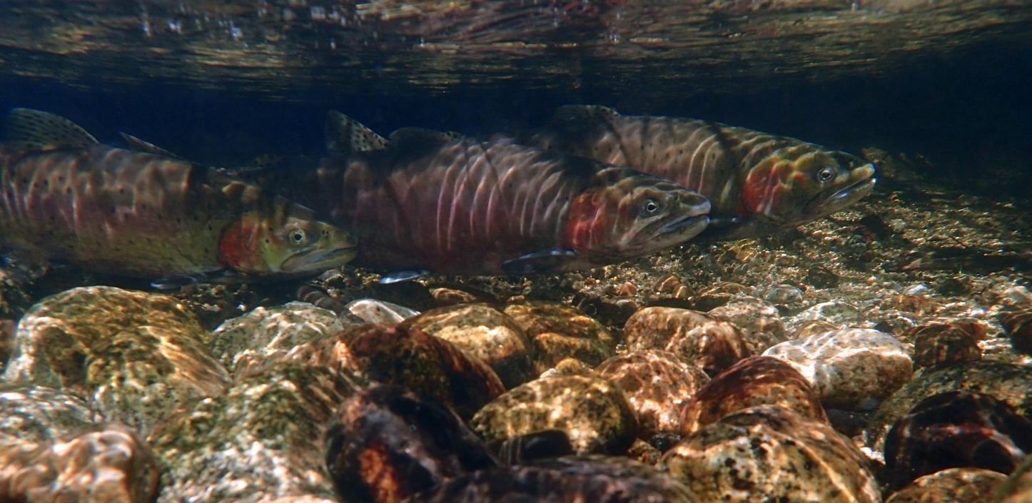Lahontan cutthroat trout swimming underwater