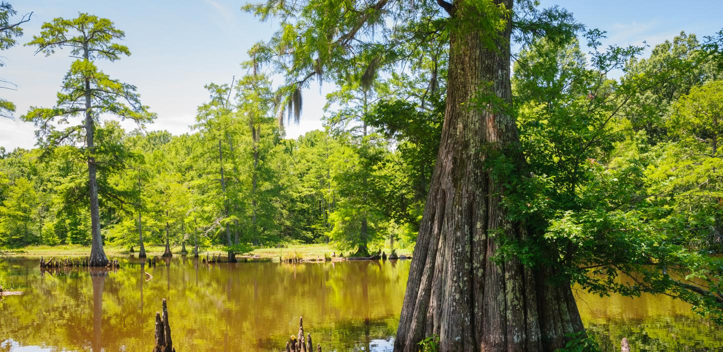 Cypress tree, Mississippi