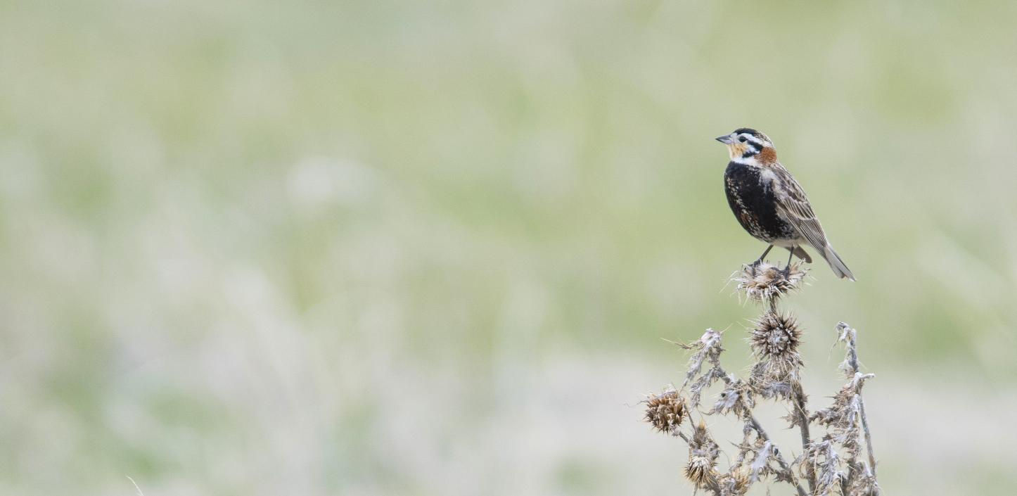Chestnut-collared Longspur perched on branch