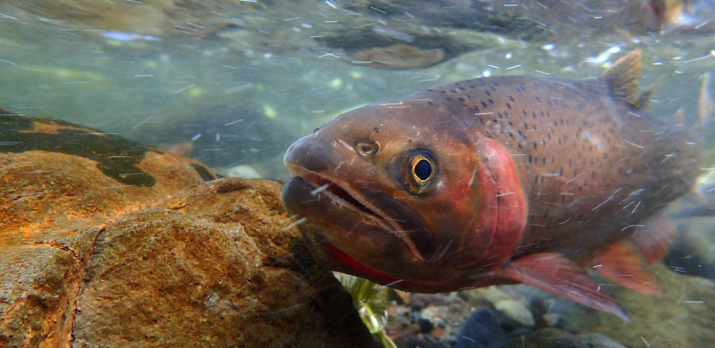 Yellowstone cutthroat trout swimming