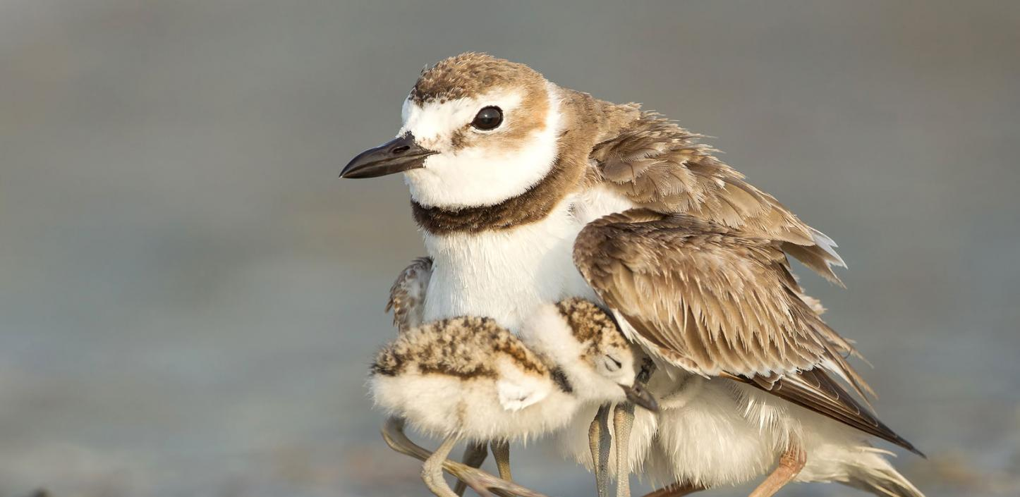 A Wilson's plover sheltering its chicks on a beach in Florida