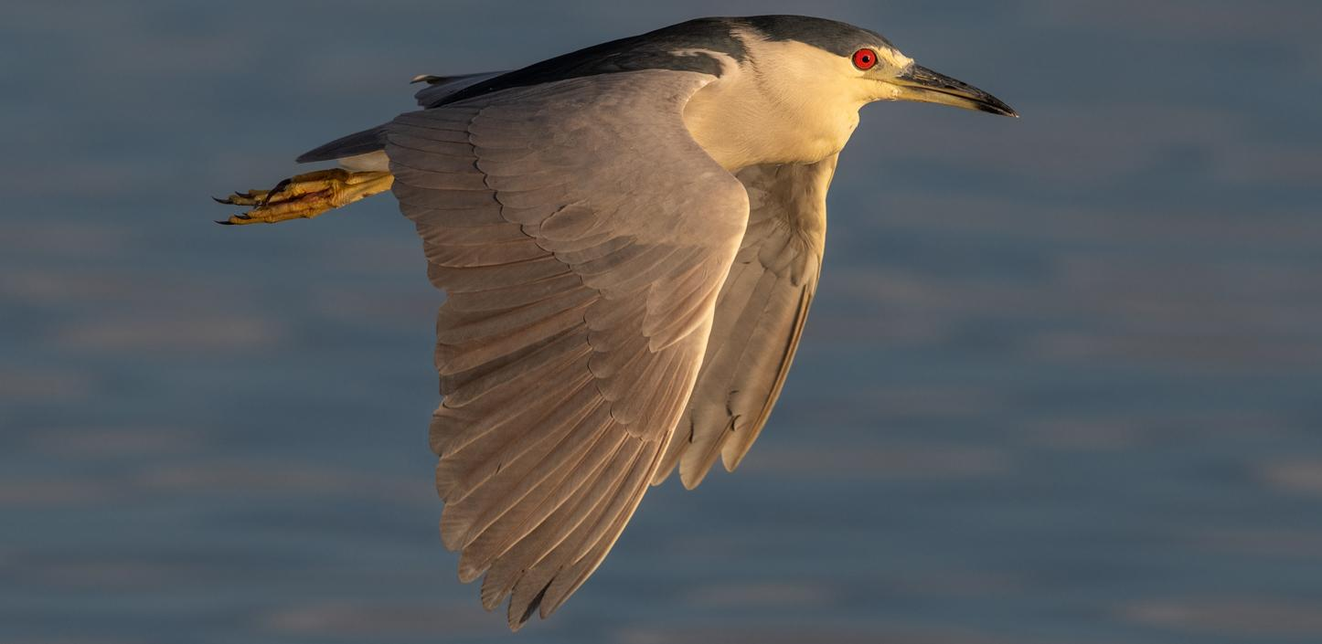 a black crowned night heron flying over water