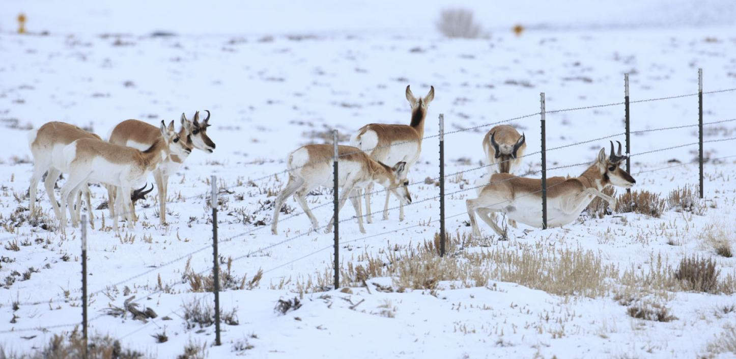 Pronghorn passing under a fence