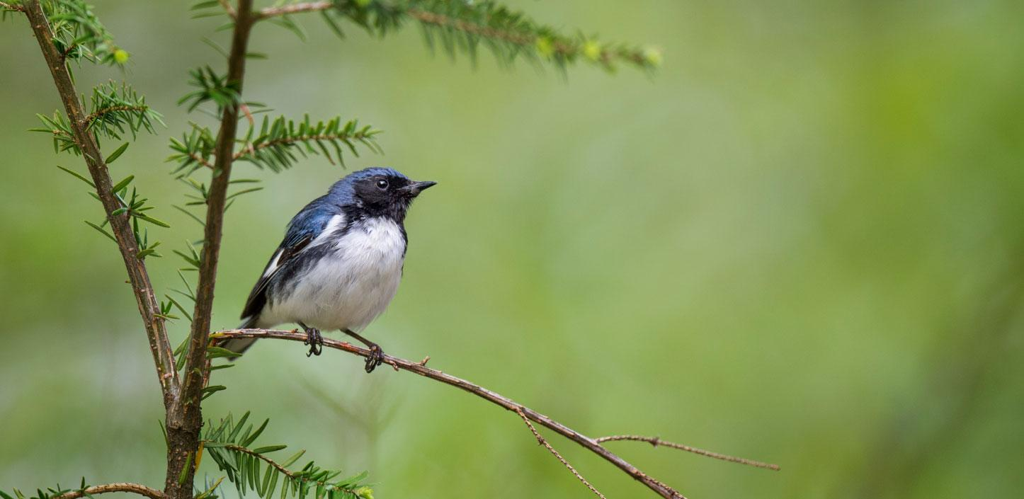 A black-throated blue warbler perched on a tree branch