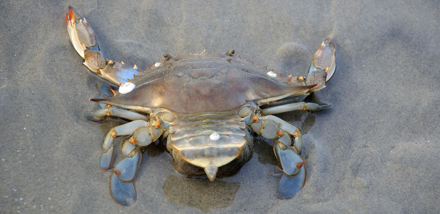 Blue crab on the beach
