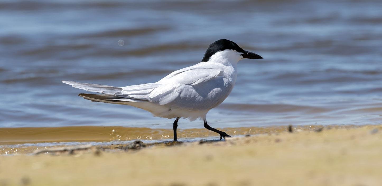 Gull-billed tern standing on the beach
