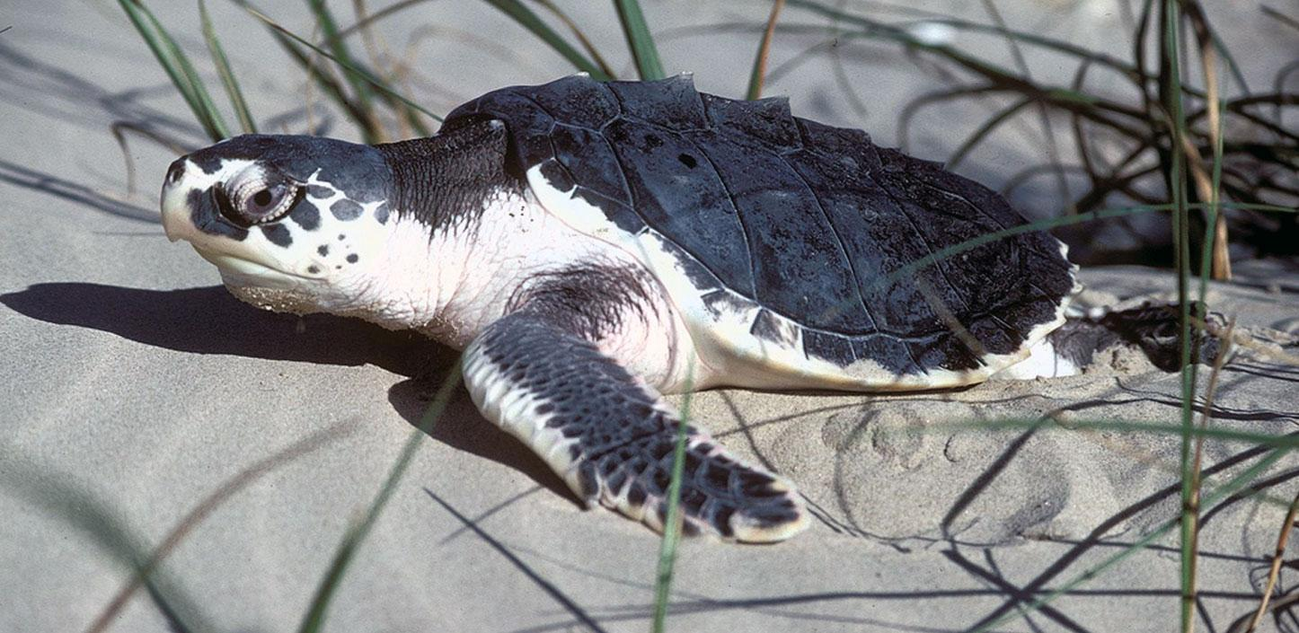 Kemp's ridley sea turtle on the beach