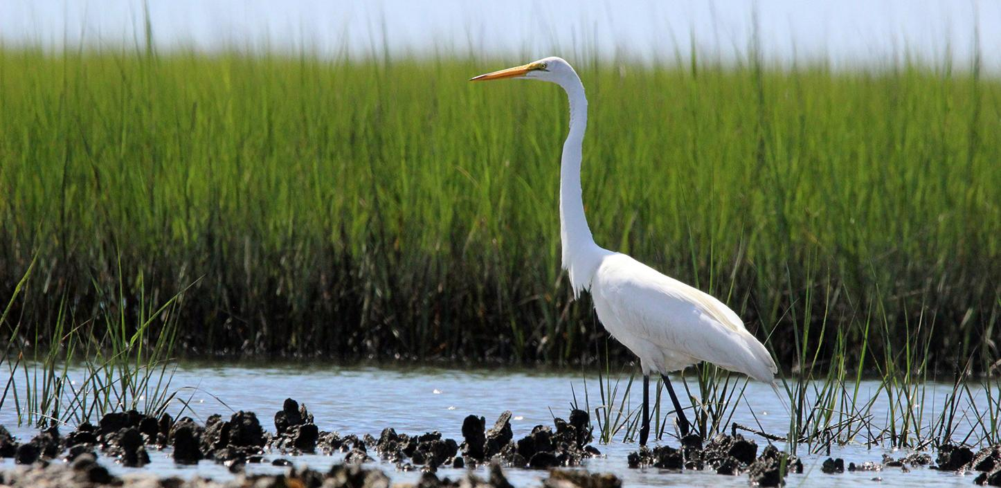 Great Egret on Oyster Bed