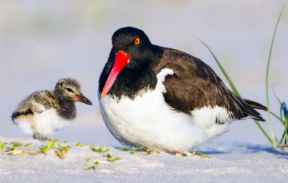 American oystercatcher with chick on the beach
