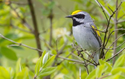 golden-winged-warbler-1446x705.jpg