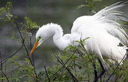 Great egret, Texas
