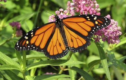 ​Monarch butterfly on milkweed