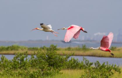 White ibis and roseate spoonbills ​