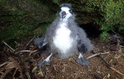 A Hawaiian petrel chicks translocated to an area protected by NFWF-funded fencing