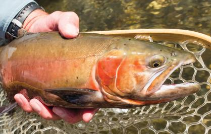 Lahontan cutthroat trout