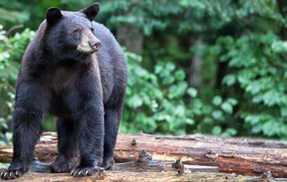 A black bear standing on a log