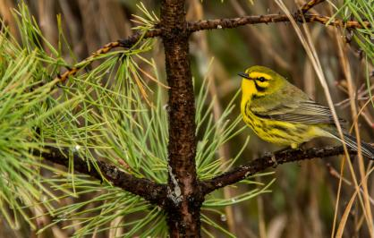 Prairie warbler on a tree branch