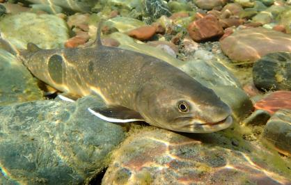 A bull trout swimming.