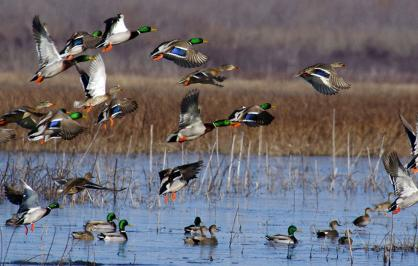 Mallards flying over wetlands
