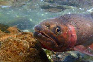 yellowstone-cutthroat-trout-1446x705.jpg