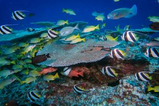 A variety of fish species swim above a patch reef 80 feet deep at French Frigate Shoals.