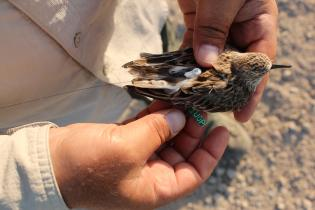 "Researchers fitting semipalmated sandpiper with ""nanotag"" to track its movements in northern South America"