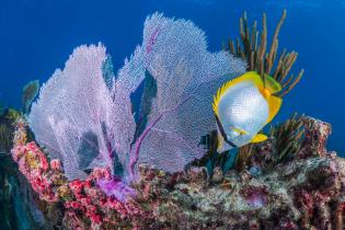 Butterfly fish and sea fan on a Florida reef