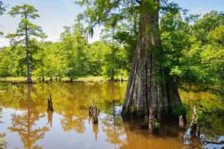 Cypress tree, Mississippi​