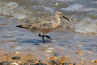Red knot, Delaware Bay