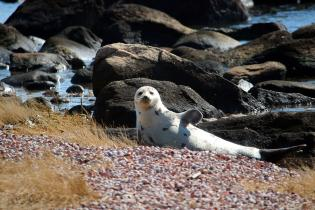 Harp seal, Long Island Sound