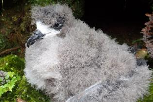 Hawaiian petrel chick