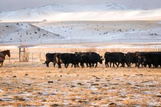 Rancher with cattle in Absaroka Mountains