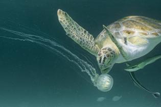 A sea turtle swimming underwater near a jellyfish