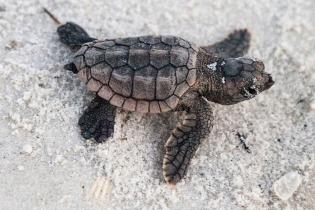 A loggerhead sea turtle hatchling on the beach