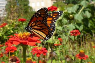 Monarch butterfly in an urban pollinator garden