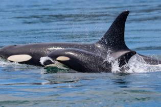 A female Southern Resident killer whale swimming with her calf