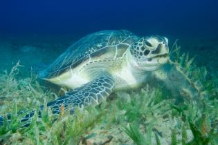 Loggerhead sea turtle underwater